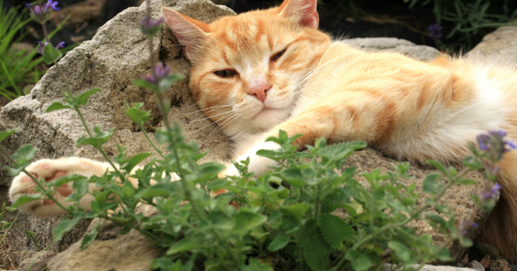 What actually is catnip and is it safe for my cat?